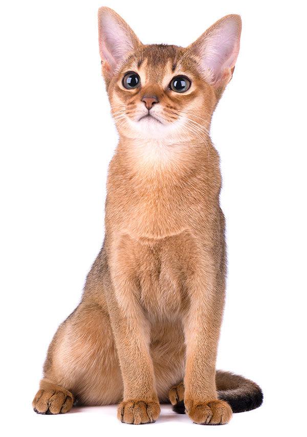gato Abisinio bebé