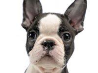 bulldog frances y boston terrier