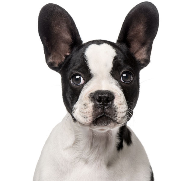 bulldog francés y boston terrier