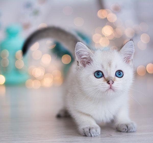 munchkin raza de gatos pelo blanco ojos azules