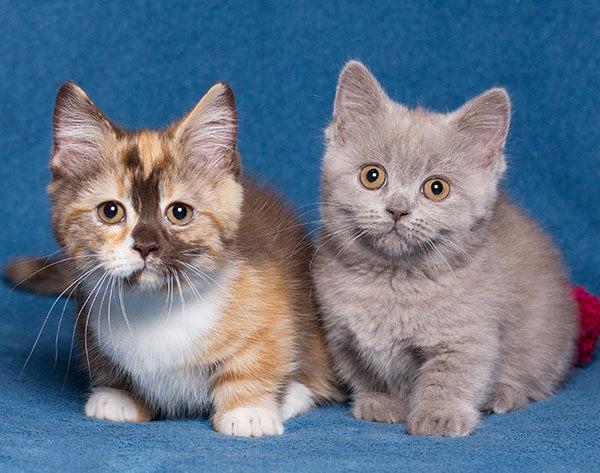 comportamiento gato patas cortas bebés