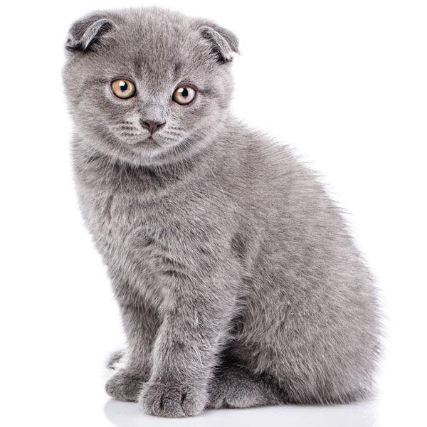 scottish fold bebe raza de gatos