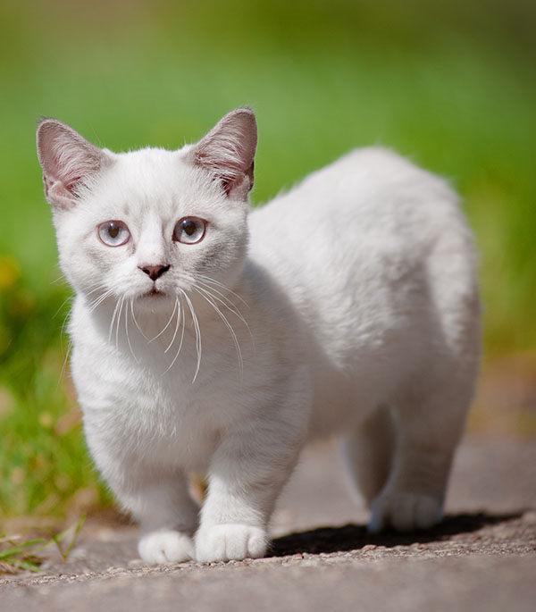 gatito munchkin