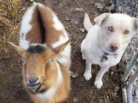 perro perdido vuelve a casa con una cabra
