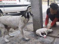 perra pide ayuda para su cachorro herido