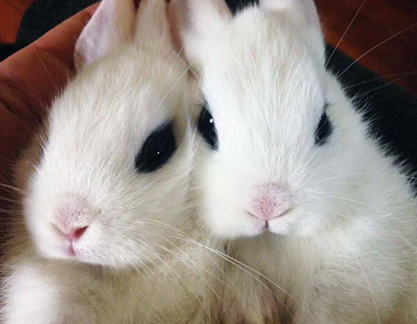 conejos enanos tipos razas