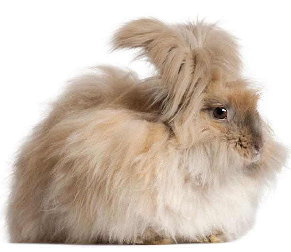 conejos enanos pelo largo