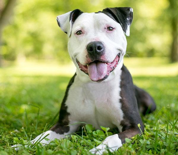 bulldog americano raza