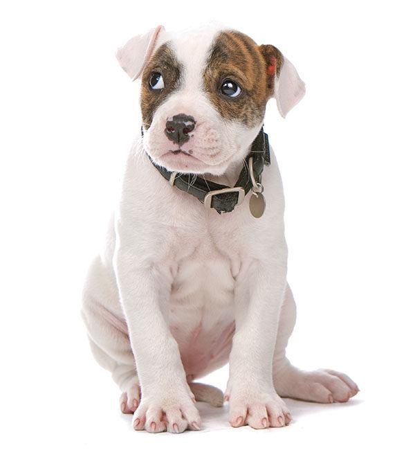 bulldog americano cachorro