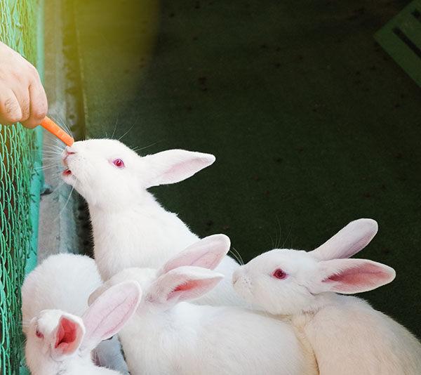 conejo blanco de florida