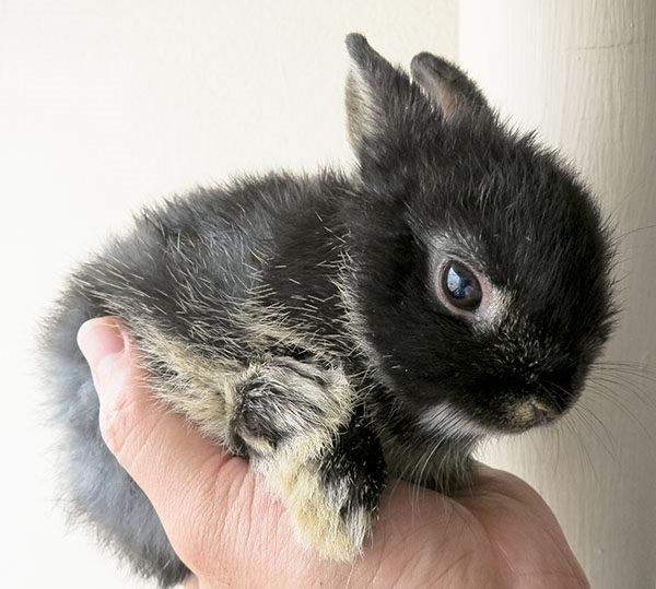 conejo holandés enano toy