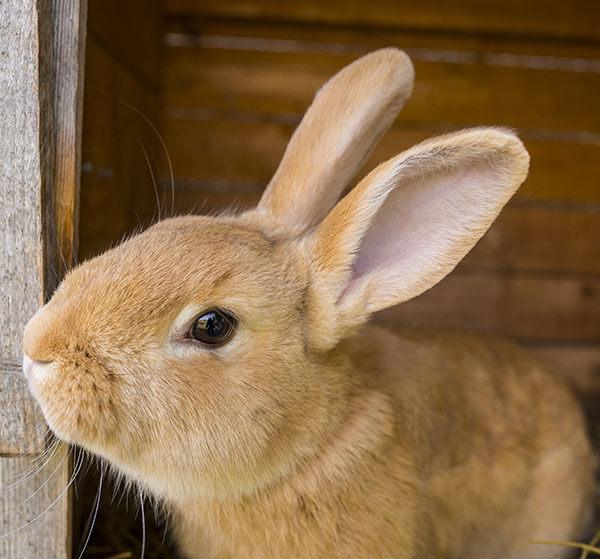 conejos gigantes razas