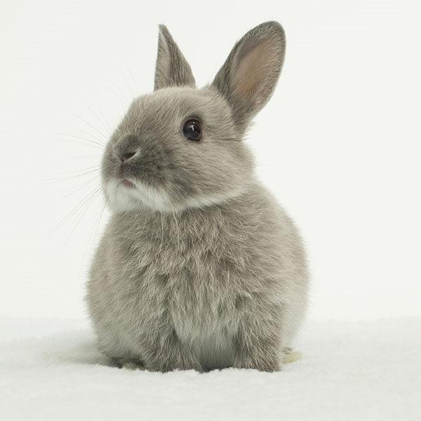 conejo holandés enano