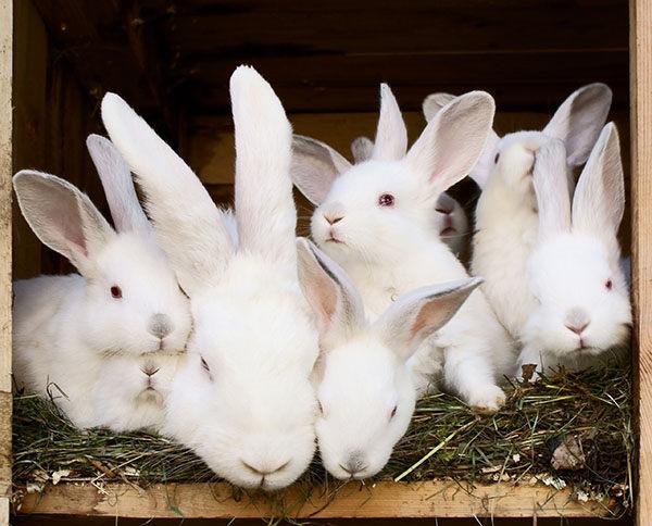 cuántas crías tiene un conejo