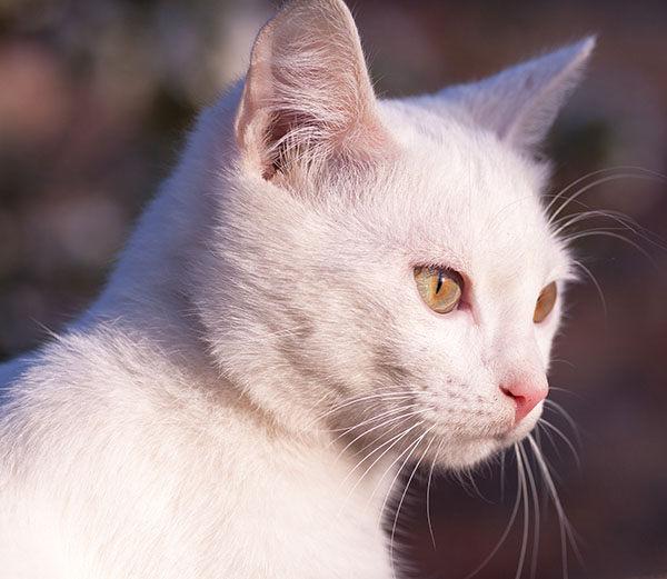 gatito ruso blanco