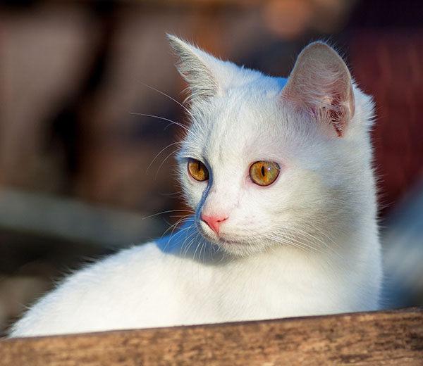 gato ruso blanco