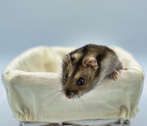 hamster enano ruso