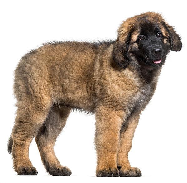 cachorro leonberger