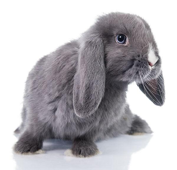 conejo mini lop enano