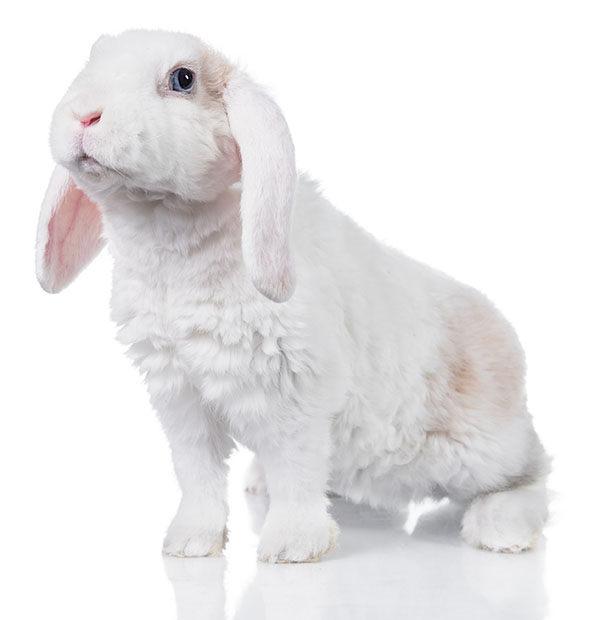 mini lop conejo enano