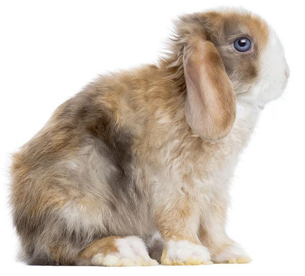 mini lop conejo
