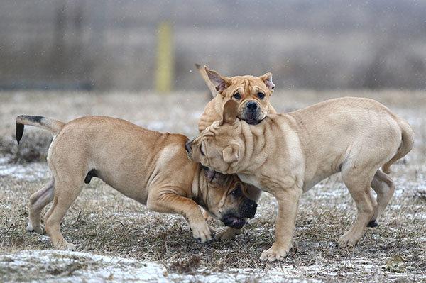 perro mallorquín