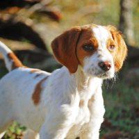 spaniel breton perro