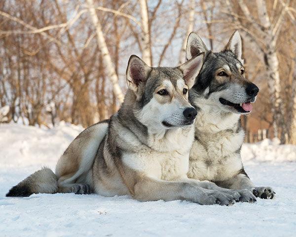 perros lobo de Saarloos macho y hembra