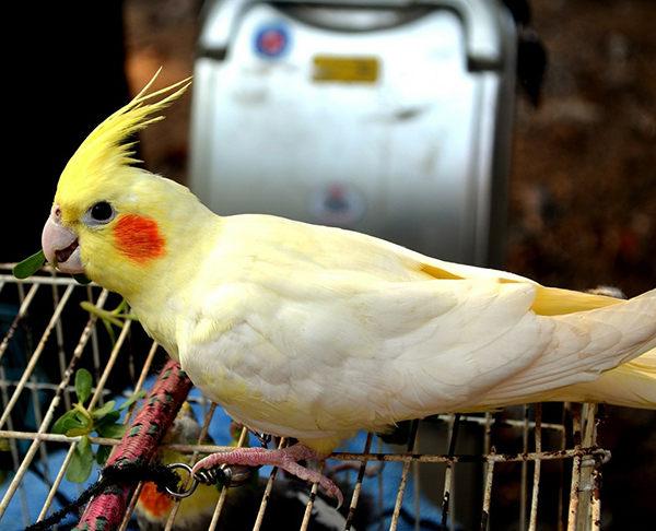 cacatúa ninfa lutino amarillo