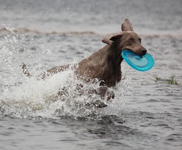 perro gris jugando en el agua