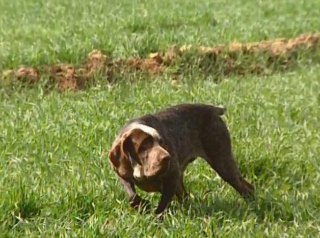 perro perdiguero de burgos