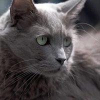 nebelung gato