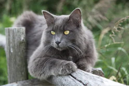 gato nebelung