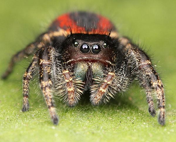 cuantos ojos tiene una araña