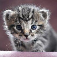 por qué gatas se comen gatitos