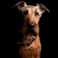 terrier irlandés