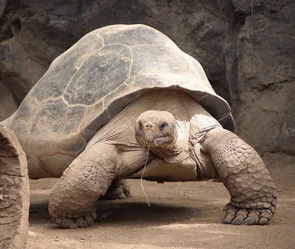 cuanto vive una tortuga de tierra