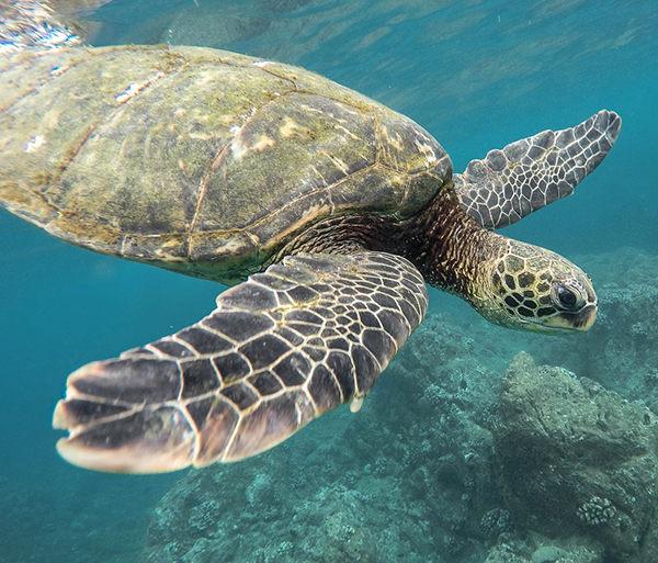 cuanto vive una tortuga marina