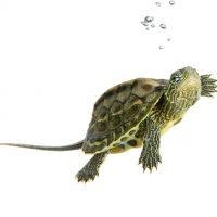 como cuidar tortugas de agua