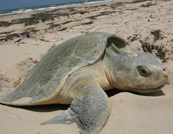 cuantos huevos ponen las tortugas