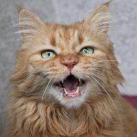 mi gato maulla mucho