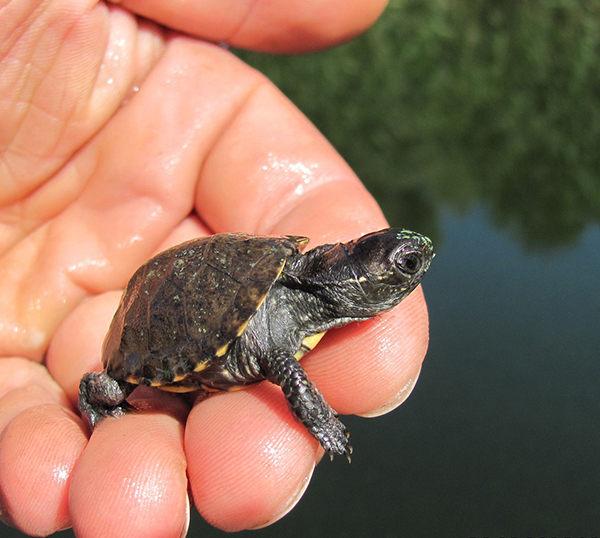 nombres de tortugas