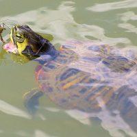 que comen las tortugas de agua