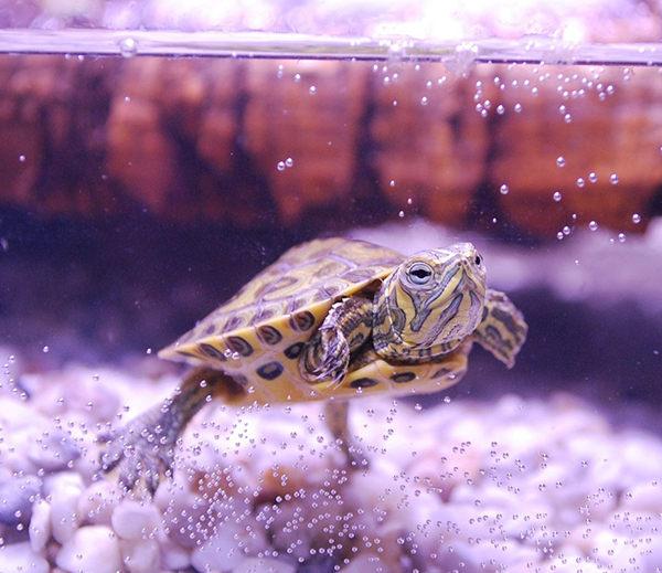 cuidados tortugas de agua