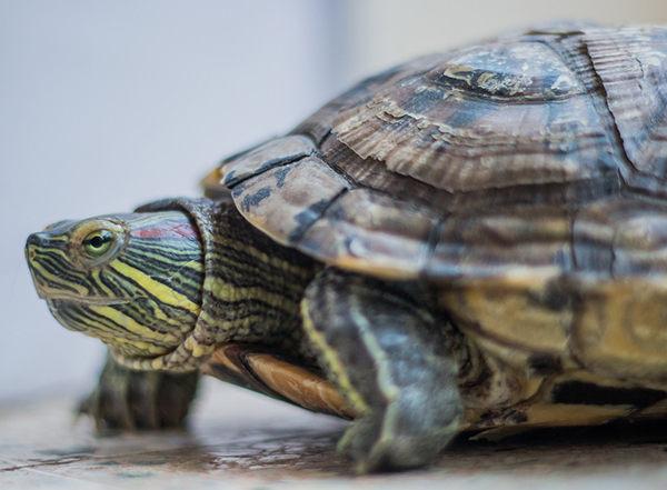 cómo cuidar tortugas de florida