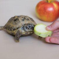 que comen las tortugas de tierra