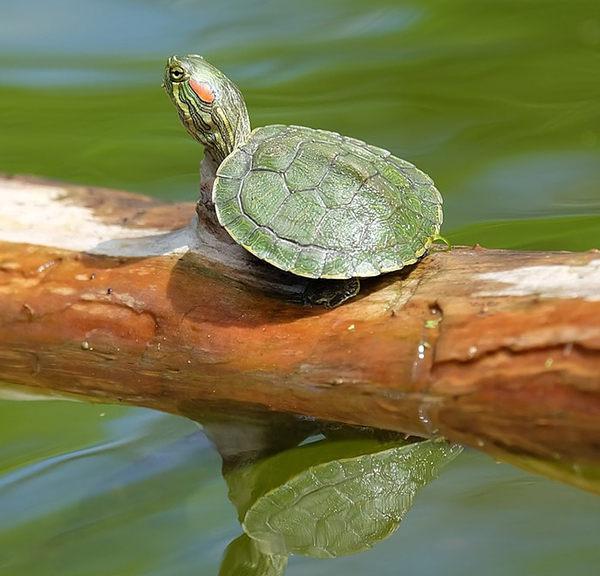 alimentación tortugas de agua