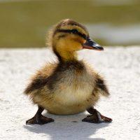 cuanto vive un pato