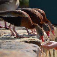 qué comen los patos