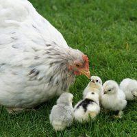que comen los pollitos